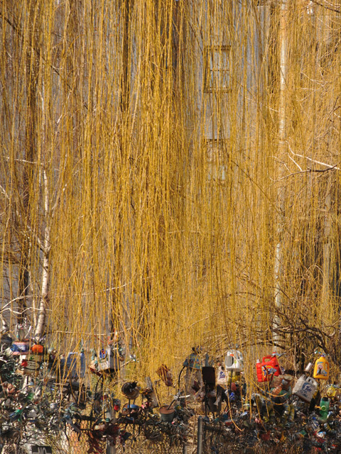 weeping willow (half)